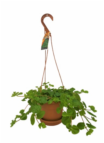 Hanging Plant with Saucer Perspective: front