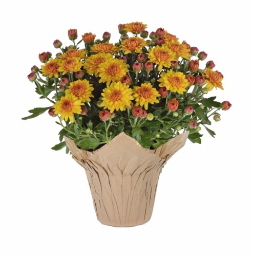 Soul Sister Indoor Mums Assorted Potted Plant Perspective: front