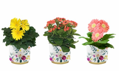 Blooming Plant in Floral Tin - Assorted Perspective: front