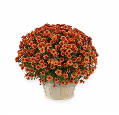 Andy Mast Greenhouses Orange Mum with Basket (Approximate Delivery is 2-7 Days) Perspective: front