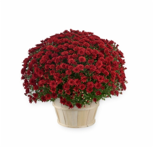 Andy Mast Greenhouses Red Mum with Basket (Approximate Delivery is 2-7 Days) Perspective: front