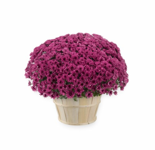 Andy Mast Greenhouses Purple Mum with Basket (Approximate Delivery is 2-7 Days) Perspective: front