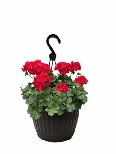 Andy Mast Greenhouses Red Geranium Hanging Basket (Approximate Delivery is 2-7 Days) Perspective: front