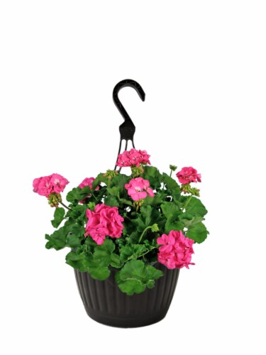 Andy Mast Greenhouses Pink Geranium Hanging Basket (Approximate Delivery is 2-7 Days) Perspective: front
