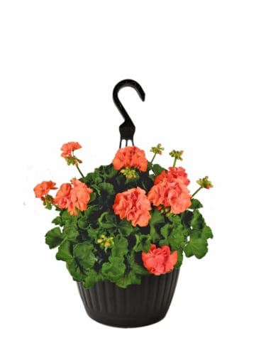 Andy Mast Greenhouses Orange Geranium Hanging Basket  (Approximate Delivery is 2-7 Days) Perspective: front