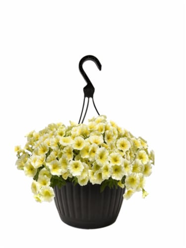 Andy Mast Greenhouses Yellow Petunia Hanging Basket (Approximate Delivery is 2-7 Days) Perspective: front