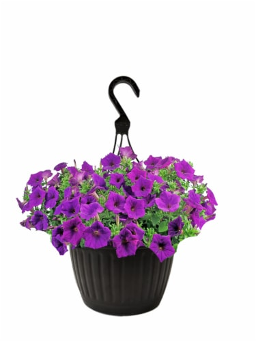 Andy Mast Greenhouses Blue Petunia Hanging Basket (Approximate Delivery is 2-7 Days) Perspective: front