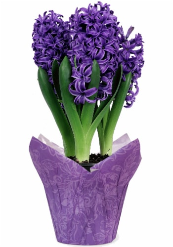 Blue Hyacinth Potted Plant (Approximate Delivery is 2-7 Days) Perspective: front