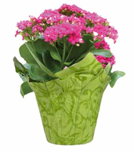 Kalanchoe Plant Perspective: front