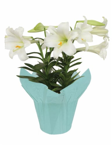 Easter Lily Perspective: front
