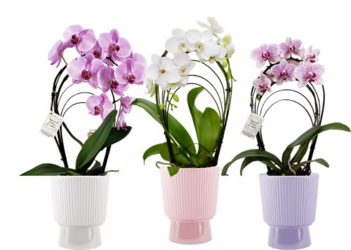 Rainbow Pedestal Potted Orchid Perspective: front