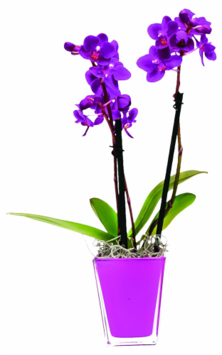 Double Expresso Potted Orchid Perspective: front