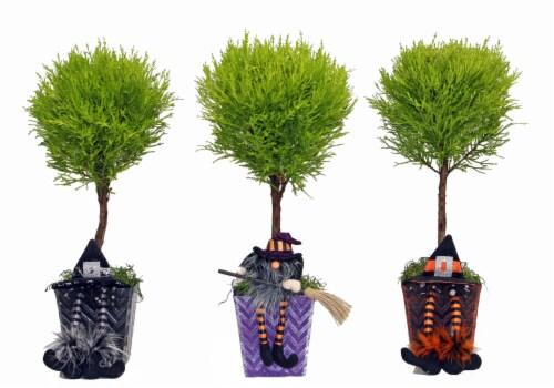 Coastal Nursery Salem Sitters Lemon Cypress Topiary Perspective: front