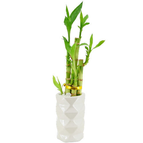 Lucky Bamboo Perspective: front