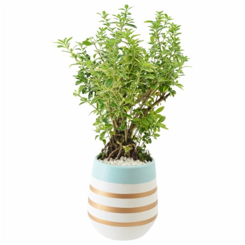 Jolene Exotic Potted Bonsai Perspective: front