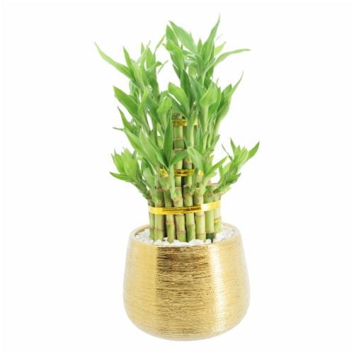 Lucky Bamboo in Gold Pot Perspective: front