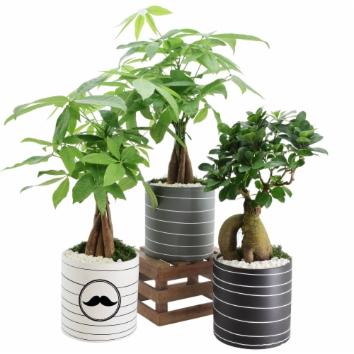 Father's Day Whirlwind Medium Bonsai - Assorted Perspective: front