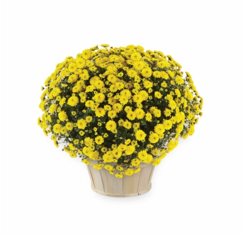 Yellow Garden Mum with Basket Perspective: front