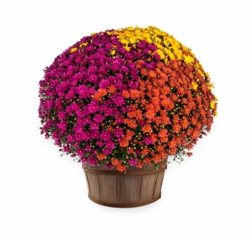Tricolor Garden Mum with Basket Perspective: front