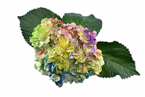 Love is Love Rainbow Hydrangea Bouquet Perspective: front