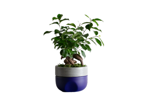 LiveTrends Azure Sky Potted Ficus Ginseng (Approximate Delivery is 2-5 Days) Perspective: front