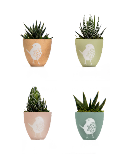 LiveTrends Potted Tipu Succulent - Assorted (Approximate Delivery is 2-5 Days) Perspective: front