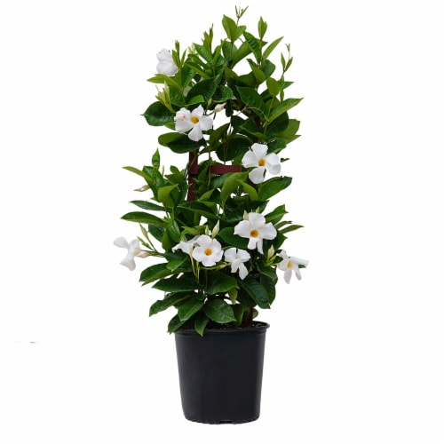 Giant Mandevilla Potted Plant - White (Approximate Delivery is 2-7 Days) Perspective: front