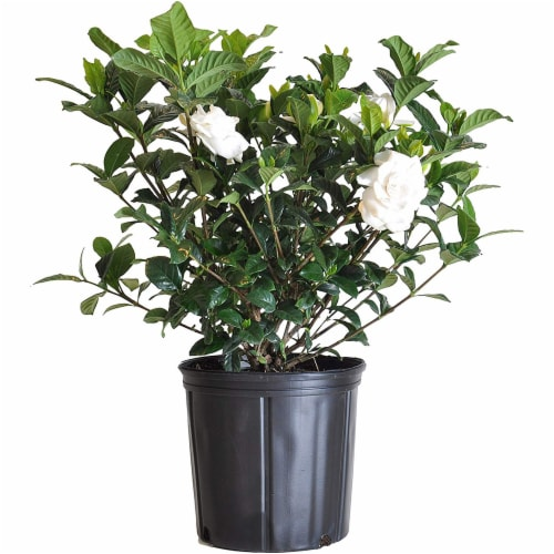Aimee Gardenia Bush Plant (Approximate Delivery is 2-7 Days) Perspective: front