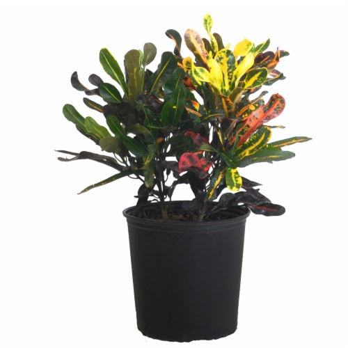 Croton Mammy Potted Plant (Approximate Delivery is 2-7 Days) Perspective: front