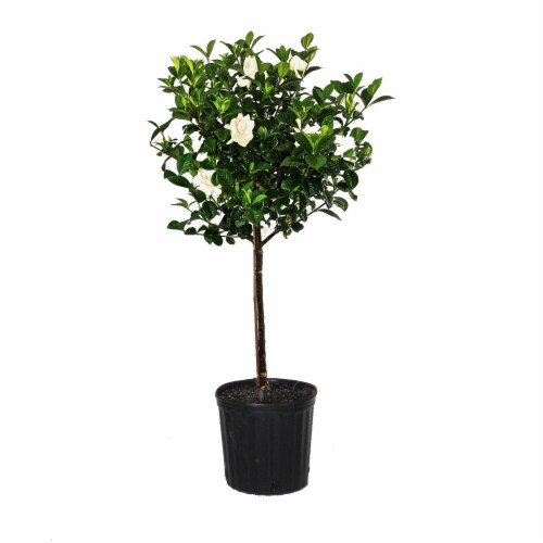 Aimee Gardenia Standard Potted Plant (Approximate Delivery is 2-7 Days) Perspective: front