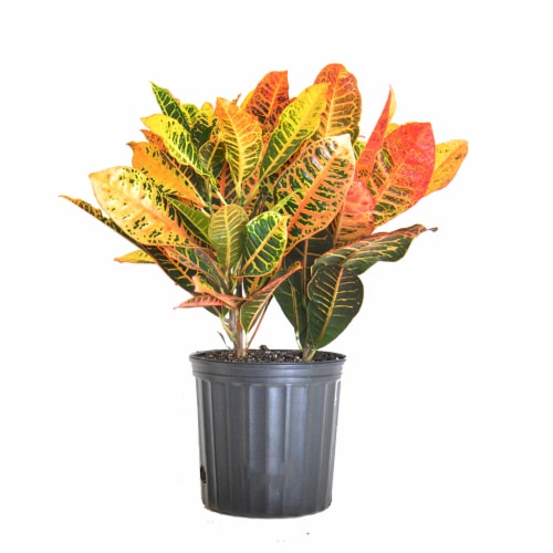 Croton Petra Potted Plant (Approximate Delivery is 2-7 Days) Perspective: front