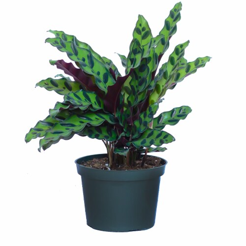 Calathea Rattlesnake Potted Plant (Approximate Delivery is 2-7 Days) Perspective: front