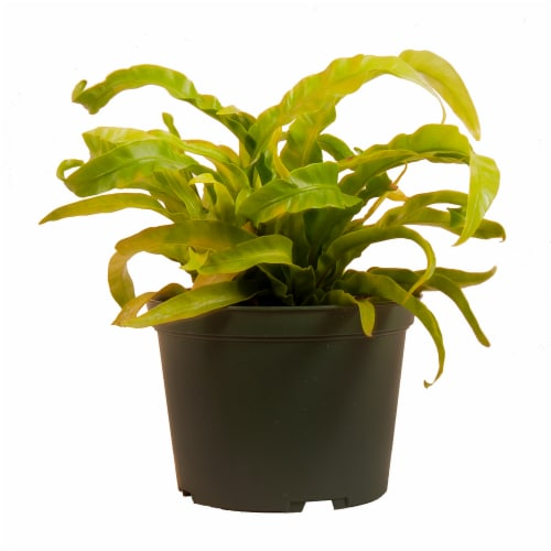 Hurricane Fern Potted Plant (Approximate Delivery is 2-7 Days) Perspective: front
