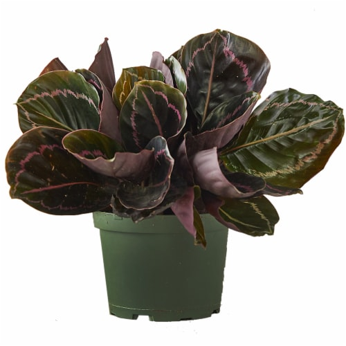 Calathea Dottie Potted Plant (Approximate Delivery is 2-7 Days) Perspective: front