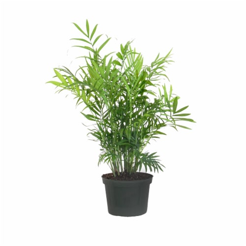 Neanthebella Palm Potted Plant (Approximate Delivery is 2-7 Days) Perspective: front