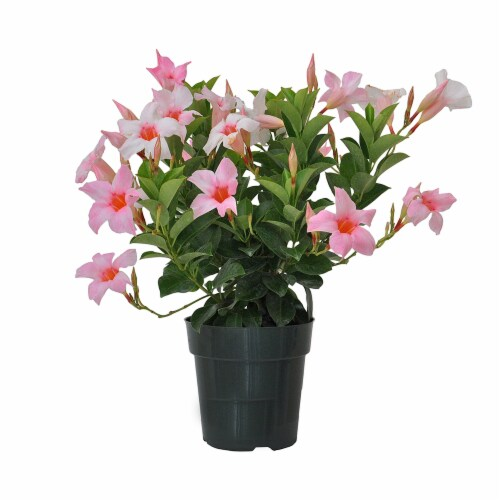 Pink Dipladenia Potted Plant (Approximate Delivery is 2-7 Days) Perspective: front
