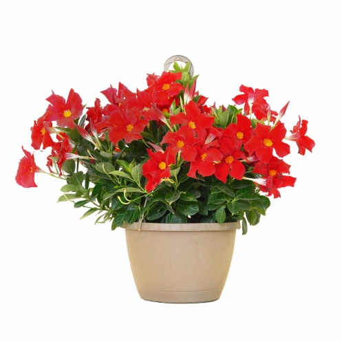 Mandevilla Hanging Basket Plant - Red (Approximate Delivery is 2-7 Days) Perspective: front