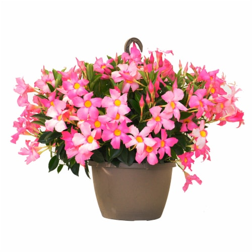 Mandevilla Hanging Basket Plant - Pink (Approximate Delivery is 2-7 Days) Perspective: front