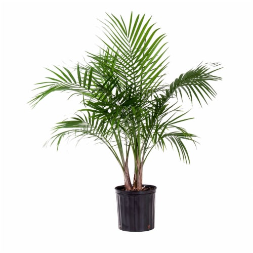Majesty Palm Potted Plant (Approximate Delivery is 2-7 Days) Perspective: front