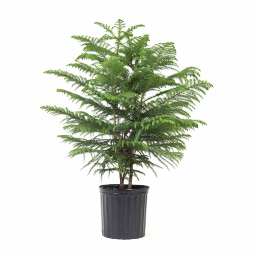 Norfolk Island Pine Potted Plant (Approximate Delivery is 2-7 Days) Perspective: front