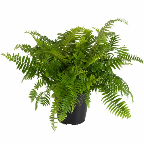 Macho Fern Potted Plant (Approximate Delivery is 2-7 Days) Perspective: front