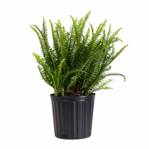 Kimberly Fern Potted Plant (Approximate Delivery is 2-7 Days) Perspective: front
