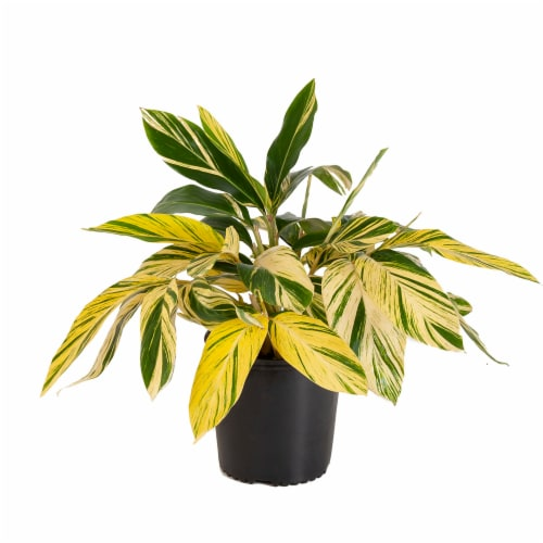 United Nursery Variegated Ginger Potted Plant (Approximate Delivery is 2-7 Days) Perspective: front
