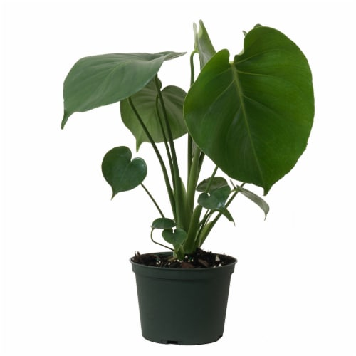 Monstera Deliciosa Potted Plant (Approximate Delivery is 2-7 Days) Perspective: front