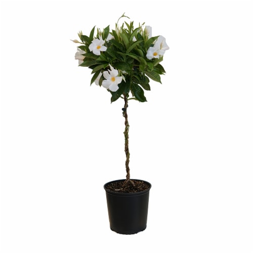 United Nursey Mandevilla White Topiary Potted Plant - (Approximate Delivery is 2-7 Days) Perspective: front