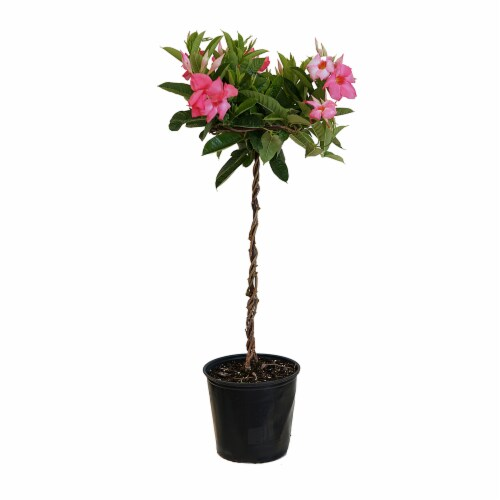 United Nursery Mandevilla Pink Topiary Potted Plant - (Approximate Delivery is 2-7 Days) Perspective: front