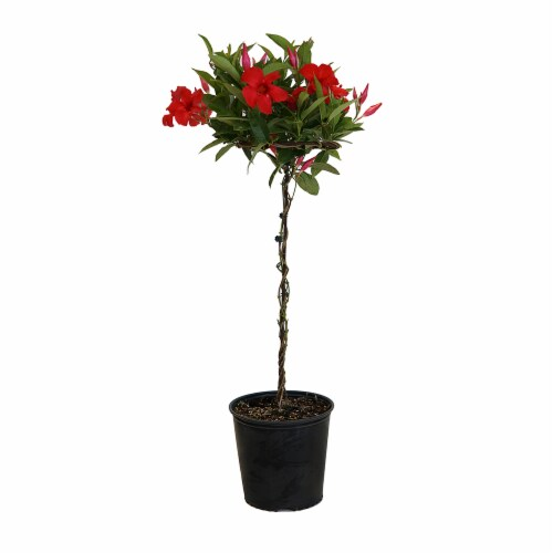 United Nursery Mandevilla Red Topiary Potted Plant - (Approximate Delivery is 2-7 Days) Perspective: front