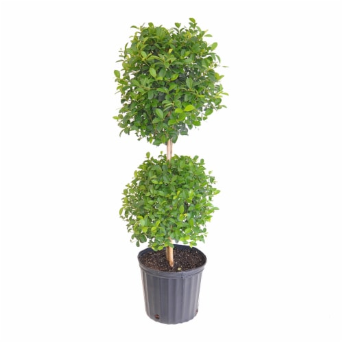 Eugenia Topiary 2 Ball Potted Plant (Approximate Delivery is 2-7 Days) Perspective: front