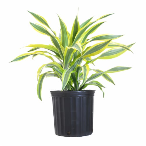 Lemon Lime Warneckii Potted Plant (Approximate Delivery is 2-7 Days) Perspective: front