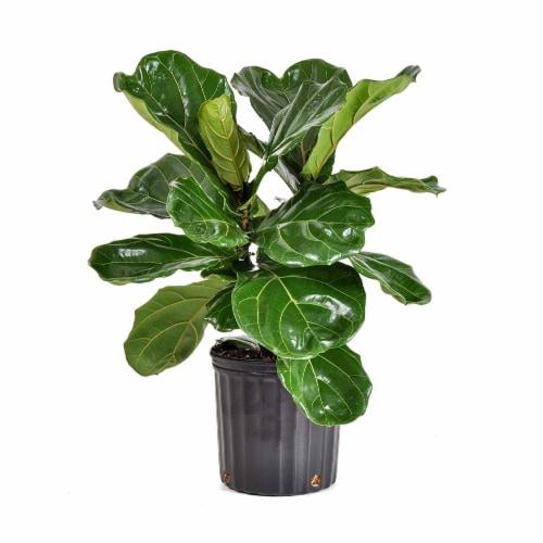 Ficus Lyrata Bush Foliage Perspective: front